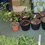 Kryminałki: Uprawa konopi na polu ogórków